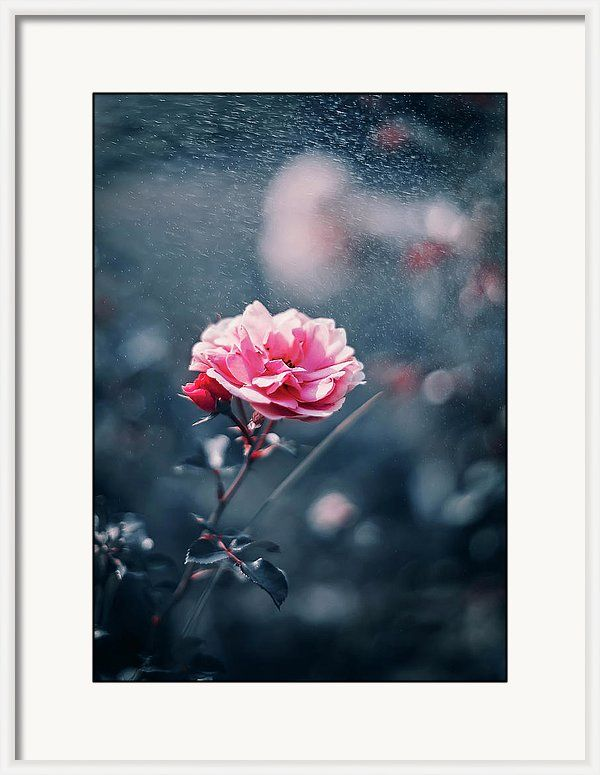 Framed Print featuring the photograph Pink Romantic Rose by Oksana Ariskina. A Pink Garden Summer Rose flower in a sparkling bokeh gray, navy blue abstract background. Available as mugs, posters, greeting cards, phone cases, throw pillows, framed fine art prints, metal, acrylic or canvas prints, shower curtains, duvet covers with my fine art photography online: www.oksana-ariskina.pixels.com #OksanaAriskina