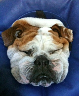 Silly Tilly the bully asleep in her soft cone after surgery.: Gossip News, Doggies Dogs, Fergalicio Friends, Ultimate Bulldogs, Bulldogs Addiction, English Bulldogs, Bulldogs Re Pin, Bullies Asleep, Bulldogs Lovers