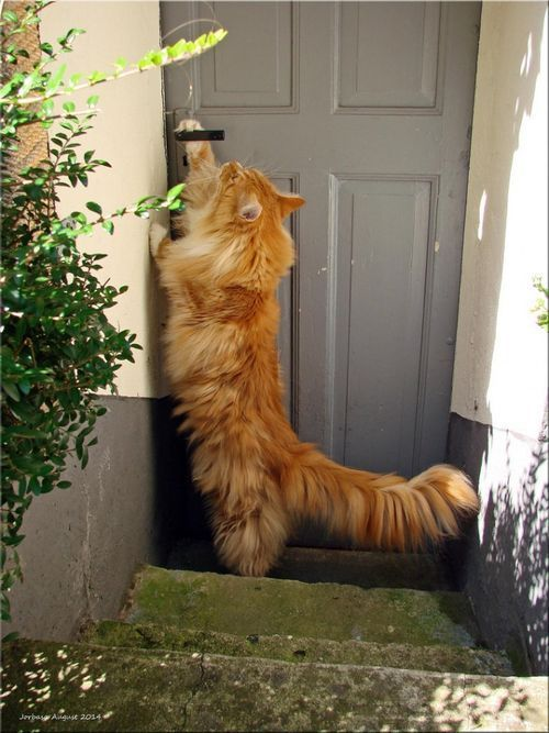 Letting himself in. Smart cat! http://www.mainecoonguide.com/where-to-find-maine-coon-kittens-for-sale/