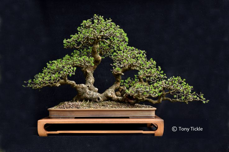 Bonsai & Yamadori from Tony Tickle | My Life in Bonsai and Ancient trees