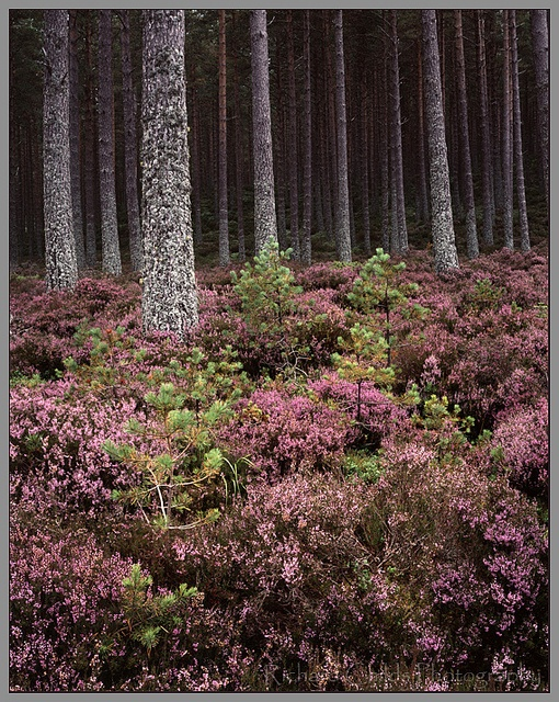 Heather and Pines, Queen Elizabeth Forest by Richard Childs, via Flickr