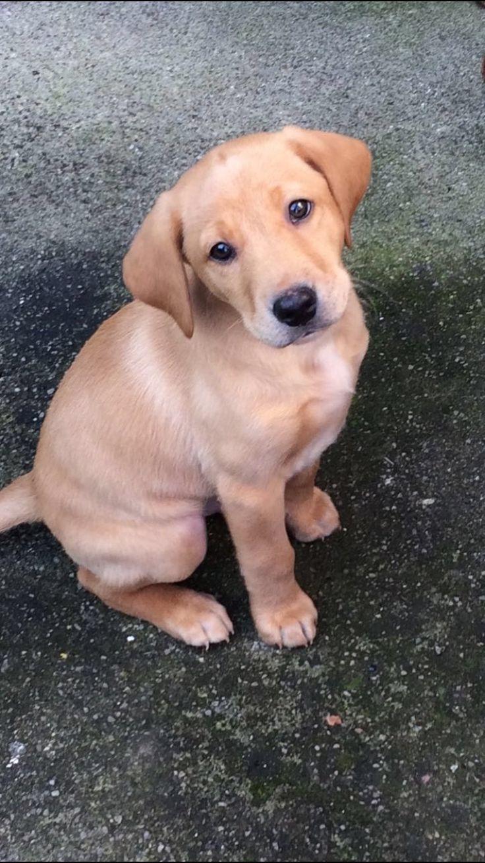 Such a cutie  #puppy #labrador