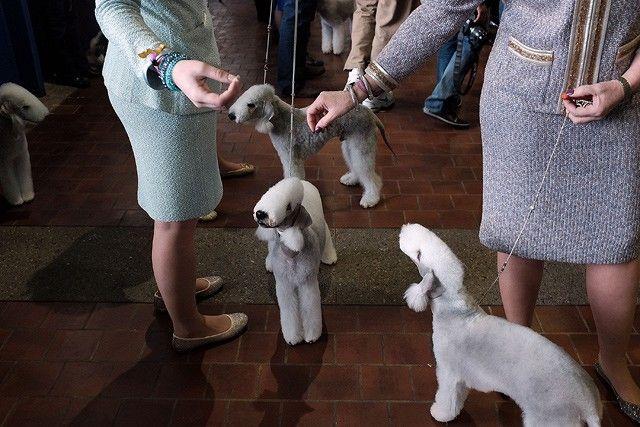 Собаки породы Бедлингтон терьер.