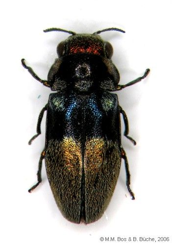 Buprestidae sp. 2 | Southeast Asian beetles