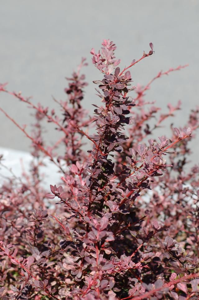 Winter beauty with berries and thorns. Lots of varieties.  Picture: barberry in spring