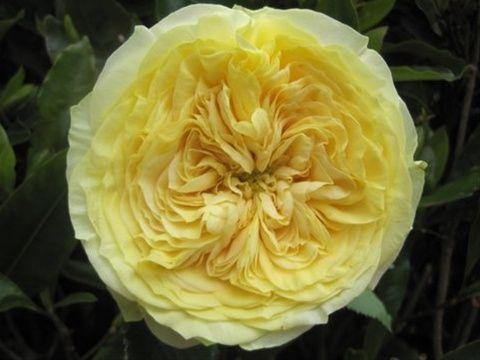 rose Lemon Ranuncula - Tìm với Google