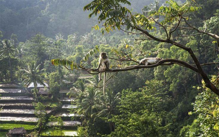 Apen in het landschap rond Tetebatu, in het binnenland van Lombok. Rondreis - Indonesië - Lombok - Tetebatu - Original Asia