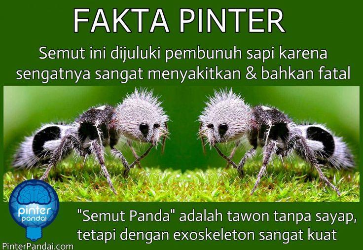 Fakta Pinter - Semut Panda, Serangga Lucu Membunuh Sapi