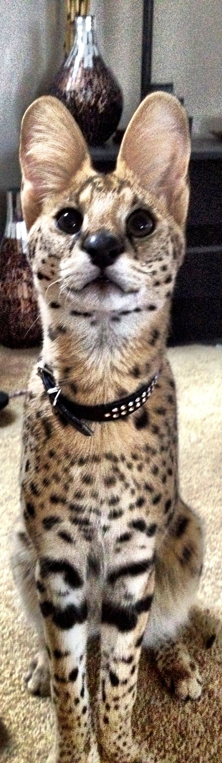 Zeus! My African Serval African Serval Pinterest