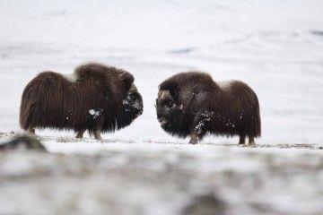 Auf den Spuren des Moschusochsen in Grönland