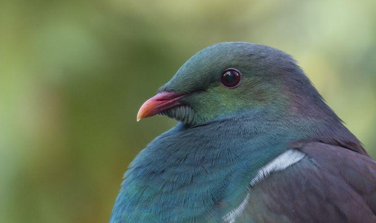 NZ Woodpigeon www.wharepuke.co.nz