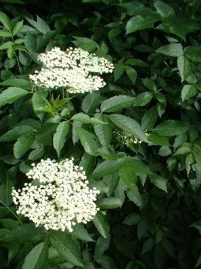 Black elderberry, Sambucus nigra
