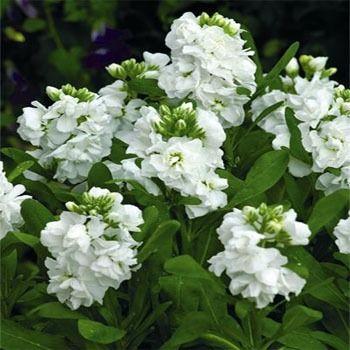 """white stock flower - sun - 8-24"""" tall depending on variety.  Very fragrant!"""