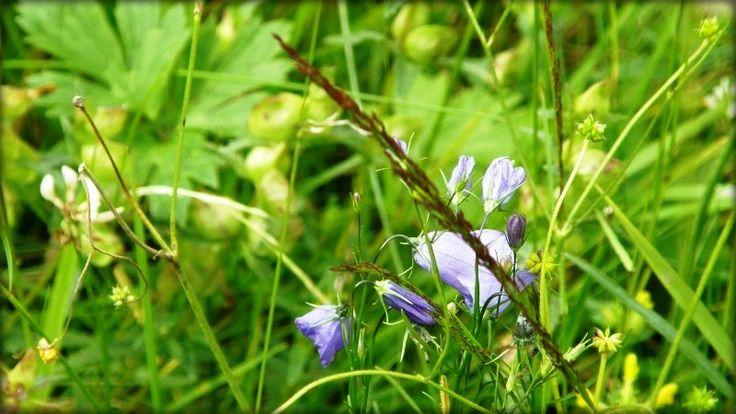 Založení trávníku - luční směs