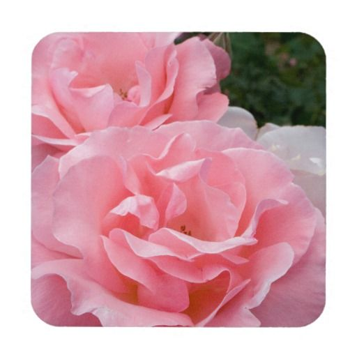 Pink Roses #6 Beverage Coaster