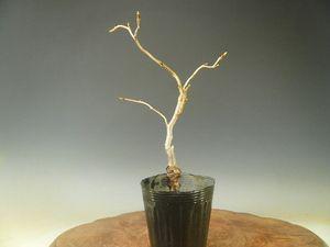 盆栽素材苗木桜雲竜大島桜(数量物)270308-2