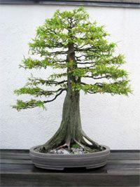 RP: Bald Cypress Tree - Taxodium Distichum