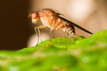 fruitvliegjes-in-huis-bestrijden