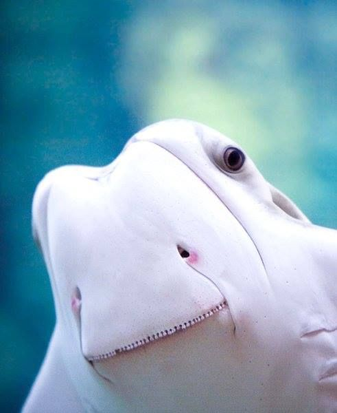 Cow-nose Stingray ~via The Featured Creature