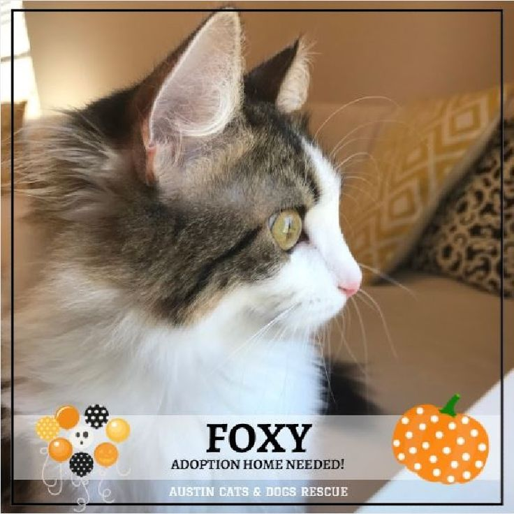 Foxy is the purrfect companion to watch for trick or treaters this #Halloween!  Always watchful out the window open your heart and your home to this pretty little lady and direct message email austincatsanddogsrescue@gmail.com  Text/Call 512-669-2269 to #adopt her today! . . #austin #austinfit #austinlife #Friday #austincitylimits #austintexas #texas #texaslonghorns #utaustin #texasexes #atx #atxlife #dell #austinpride #adoptdontshop #tgif #weekendvibes #autumn #nationalpumpkinday…