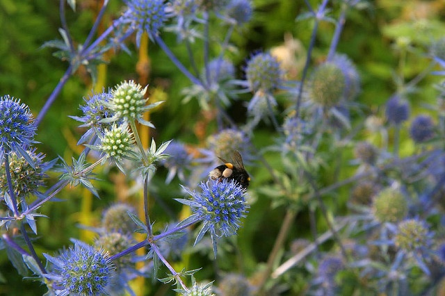 Busy bee on Eryngium !!