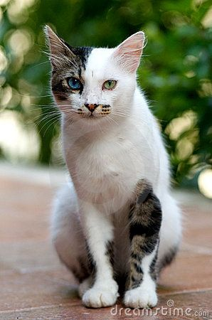 "* * "" IF DAT BE TRUE DAT I IZ A TURKISH VAN, COULD YOO DIRECT ME TO LAKE VAN, IN TURKEY ? "" ( This is NOT a Turkish Van ! )"
