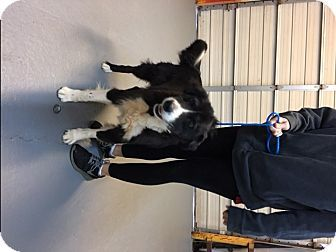 Pictures of Mojo a Bernese Mountain Dog/Husky Mix for adoption in Woodstock, GA who needs a loving home.