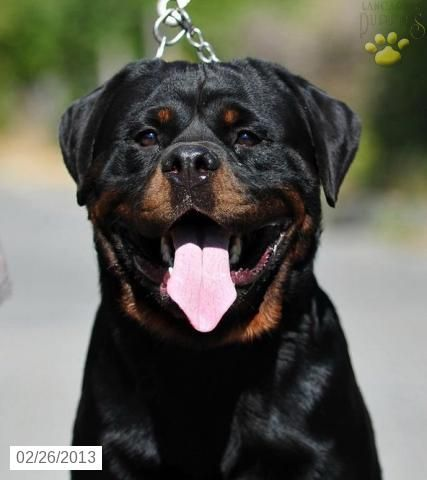 IMPORTED - Rottweiler Puppy for Sale in Lititz, PA - Rottweiler - Puppy for Sale