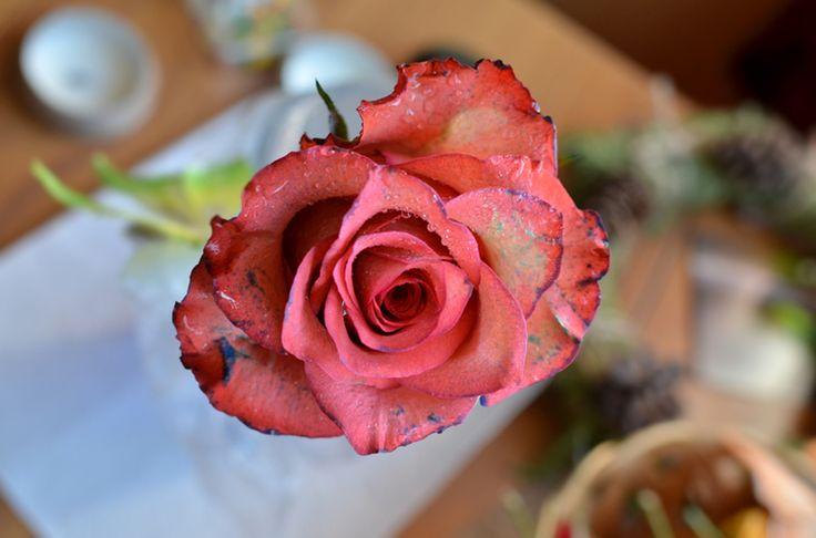 Romantická spomienka v podobe krásnej rezanej ruže vôbec nemusí skončiť ako vyschnutý zaprášený pahýľ u starkej na povale. Dokážete si z nej vypestovať rastlinu, ktorá vám poskytne ďalšie a ďalšie krásne kvety!