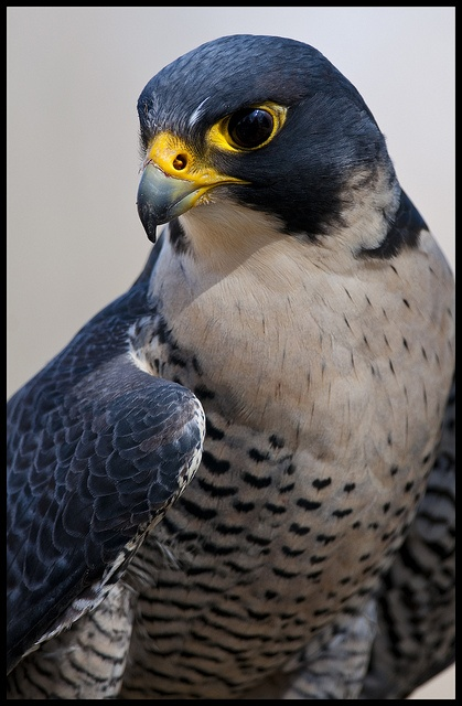 Peregrine Falcon - fastest diving bird. Tucked into a dive that will last seconds due to its great height and reach around 389 km/h.