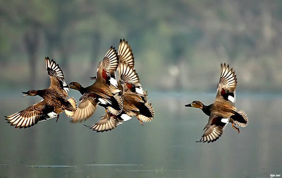 Envol de Canards chipeau / united flight of Gadwalls