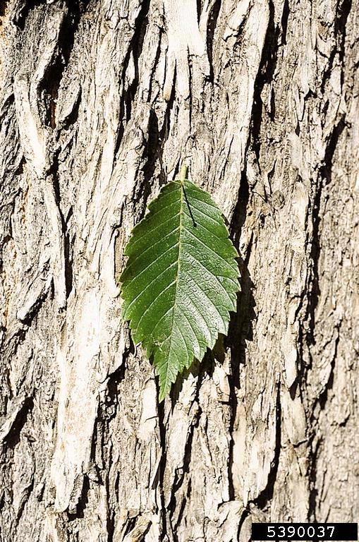 American elm leaves and bark