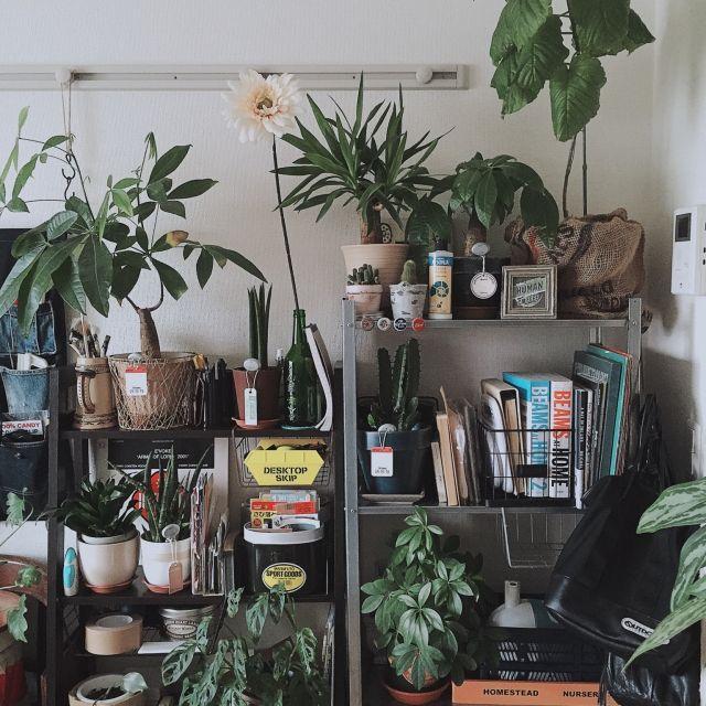 333さんの、パキラ,セリア,リメイク,ダイソー,観葉植物,一人暮らし,1K,IKEA,ニトリ,niko and… ,ウンベラータ,ユッカ,マドカズラ,サンスベリア スタッキー,サボテン,棚,のお部屋写真