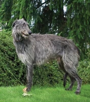 SCOTTISH DEERHOUND - A Dog Less Common | Modern Dog magazine - the best dog magazine ever