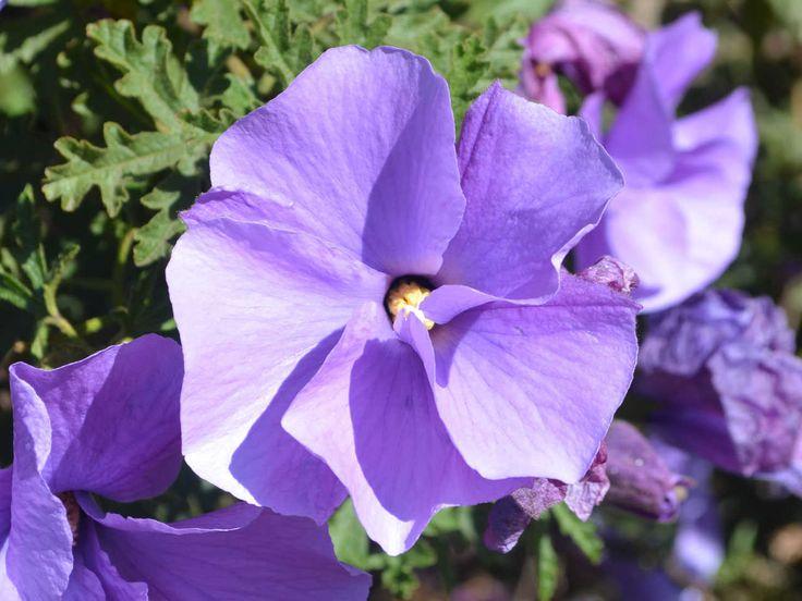 "Alyogyne Huegelii ""West Coast Gem"" / Native Hibiscus - Meredith Nursery"