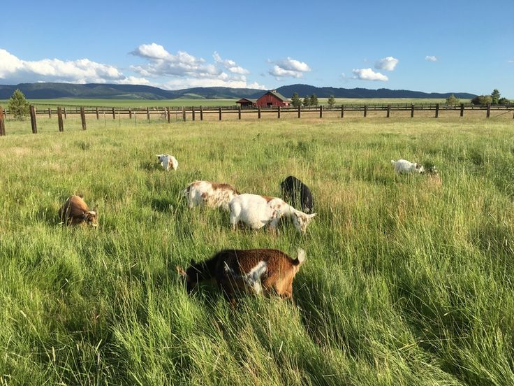 Home - Elsberry Farms - pygmy goats for sale
