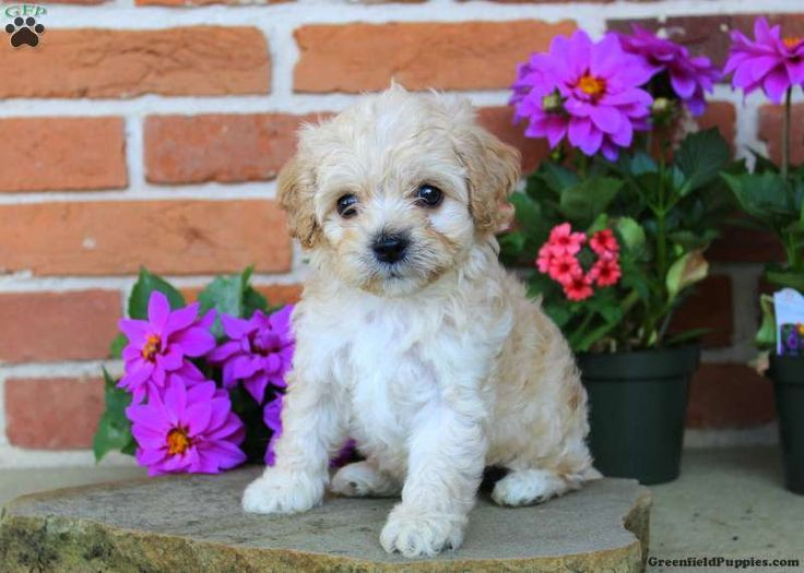 Asher – Cavachon Puppy For Sale in Pennsylvania   – Puppies!