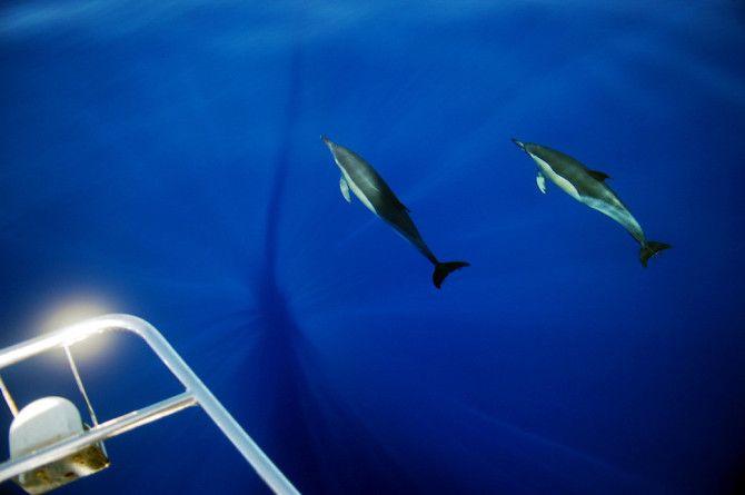 Viikon kuva: Delfiinejä, Atlantin valtameri