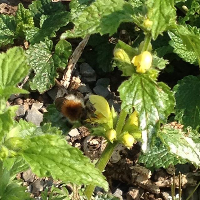 #mindfulness#achtsamkeit#spring#frühling#bumblebee#hummel#lamium#goldnessel#gardening#garten#natur#nature#naturelovers#landliebe#landlust#bauerngarten#gartenglück#gartenliebe#wachstum##growth#bodendecker#floral#structure#life#leben#blossoms#leaves#yellowarchangel