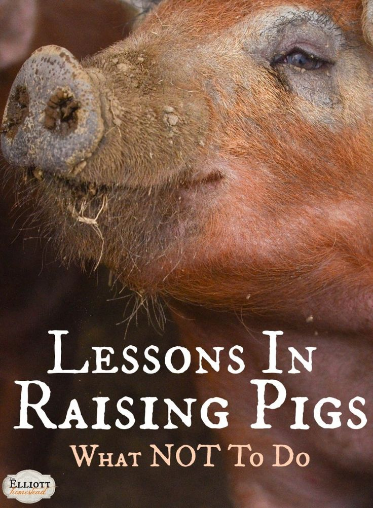 Lessons In Raising Pigs (What NOT To Do!) | The Elliott Homestead (.com)