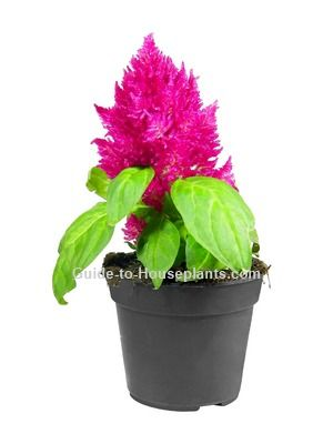 How to grow Celosia plumosa as a house plant. Discover best varieties for growing Celosia plant in pots. Get tips for taking care of Celosia flower.