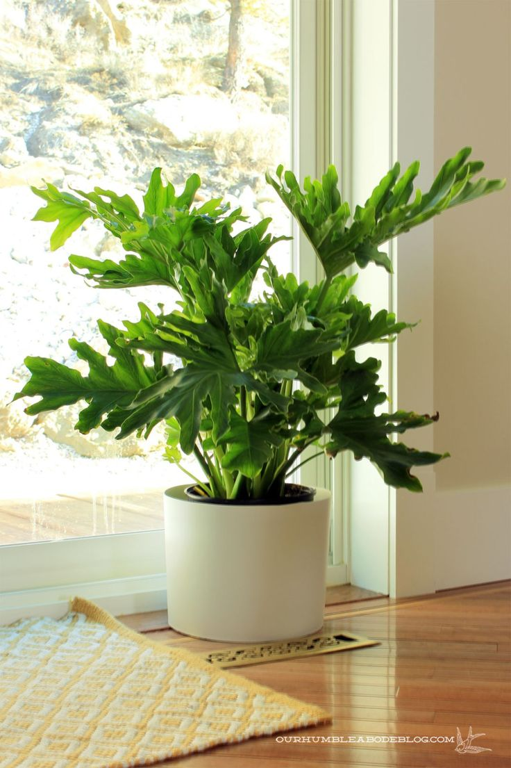 Big Leaf Philodendron and other easy care house plants.Love love this airy  plant