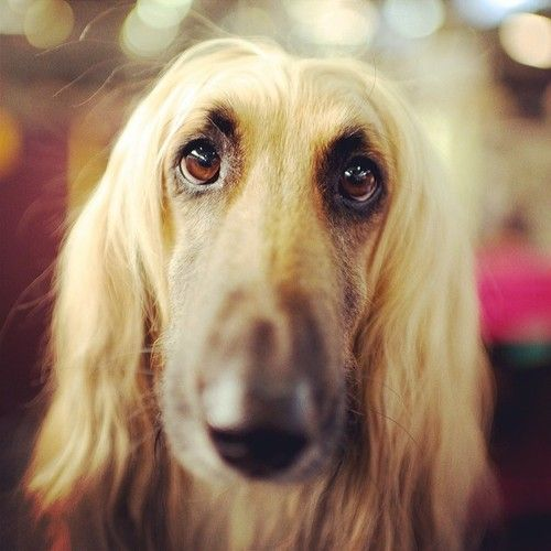 Angel, Afghan Hound, 138th Westminster Kennel Club Dog Show Puppy Dog Dogs Puppies