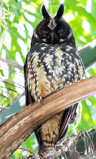 Foto mocho-diabo (Asio stygius) por Fabio Duarte | Wiki Aves - A Enciclopédia das Aves do Brasil