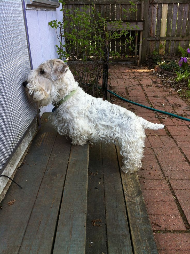 Hello, can I interest you in Sealyham Terriers?