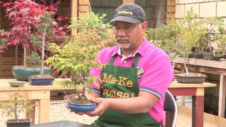 How to Care for a Zelkova Bonsai, Japanese Elm Bonsai Keaki are excellen...