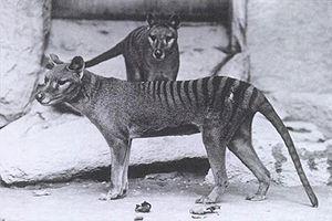 7. Sept. 1936: Benjamin, der letzte lebende Beutelwolf (auch Tasmanischer Wolf), stirbt in der Nacht vom 6. auf den 7. September im Beaumaris Zoo in Hobart, Australien. Der Beutelwolf war das größte fleischfressende Beuteltier, das in geschichtlicher Zeit auf dem gesamten australischen Kontinent lebte.Beutelwölfe erreichten eine Kopfrumpflänge von 85 bis 130 Zentimetern, eine Schwanzlänge von 38 bis 65 Zentimetern und ein Gewicht von 15 bis 30 Kilogramm.
