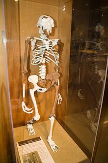 Lucy (Australopithecus) - Wikipedia, the free encyclopedia. Lucy skeleton reconstruction. Cleveland Museum of Natural History.