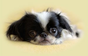 Japanese Chin puppy, I want one of these little guys so bad! Adorable!