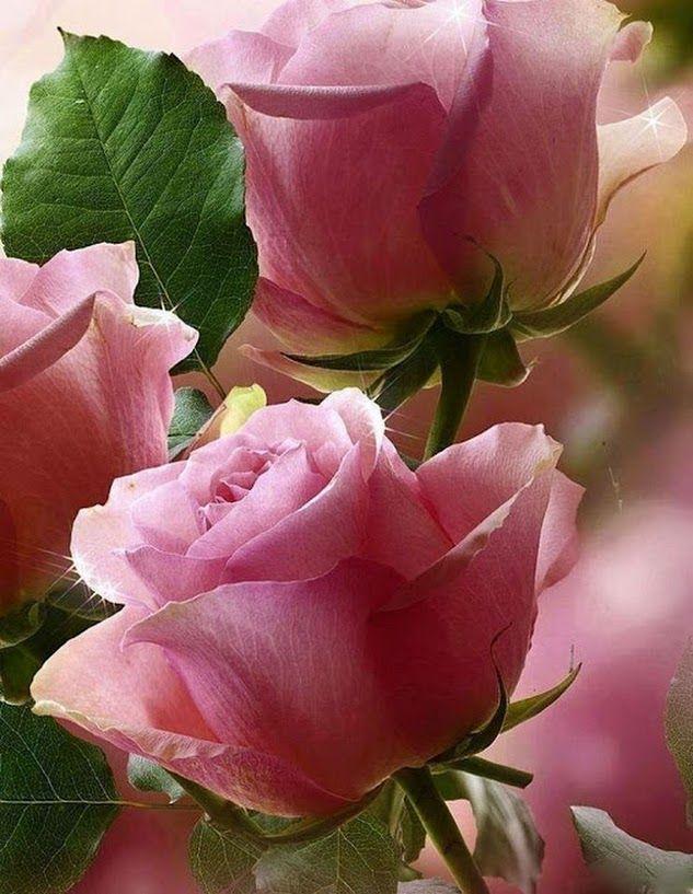Pink Rose Garden Wallpaper 148 best rose garden images on pinterest | pink roses, flowers and